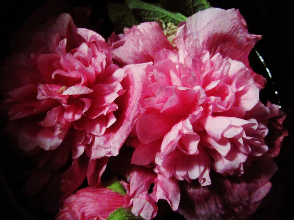 Preparing my hollyhocks for water infusion in my slow cooker